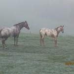 Cattle n horses